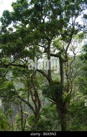 Epiphytes in rainforest trees at Cunninghams Gap, Queensland, Australia - Stock Photo