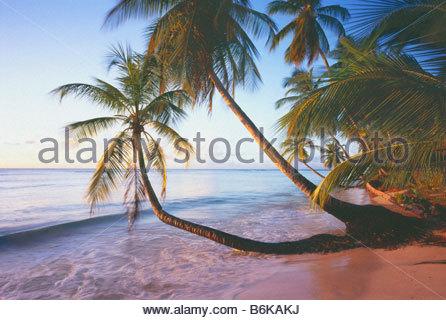 Pigeon Point with coconut palms cocos nucifera Island of Tobago Trinidad and Tobago Caribbean - Stock Photo