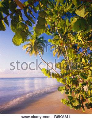 Pigeon Point beach with sea grape and coconut palms Cocos nicifera Island of Tobago Trinidad and Tobago Caribbean - Stock Photo