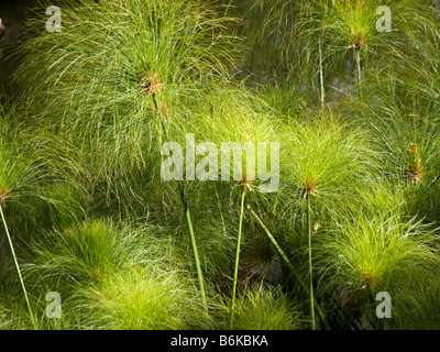 Cyperus papyrus papyrus sedge paper reed plants plant pattern - Stock Photo