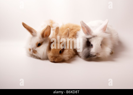 three lionhead rabbits in a group about 3 weeks old - Stock Photo