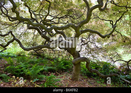 Japanese Maple tree Winterthur Museum Country Estate - Stock Photo