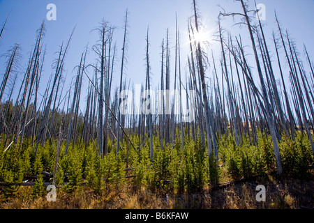 Regeneration of trees that burned in forest fires near Dunraven Pass Yellowstone National Park Wyoming USA - Stock Photo