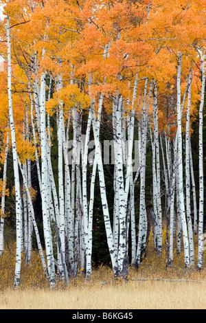 Aspen trees golden in autumn color, near Rt. 89/287 and Arizona Island, Grand Teton National Park, Wyoming, USA - Stock Photo