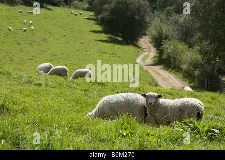 Cotswold sheep grazing in a sunny field - Stock Photo