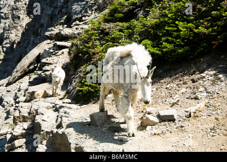 a nanny mountain goat and kid walking on a ledge along the Highline trail in Glacier National Park - Stock Photo
