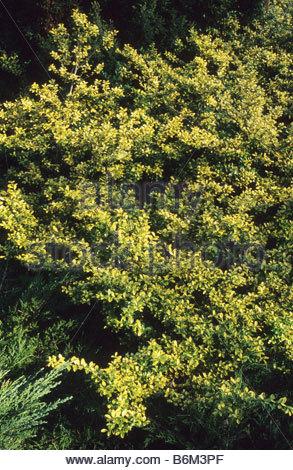 Japanese holly (Ilex crenata), garden bonsai Stock Photo, Royalty ...