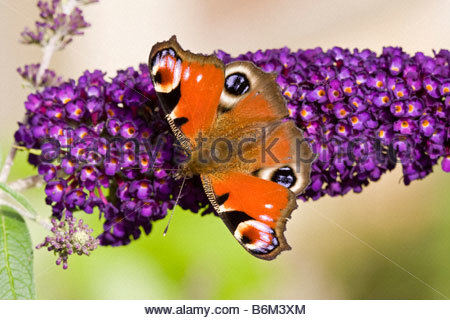 Peacock butterfly on buddleia flower - Stock Photo
