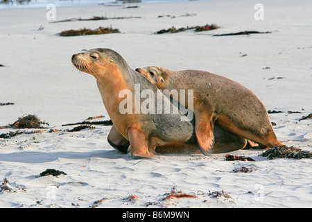 Mother and young seal frolicking on the sandy beach at Seal Bay Kangaroo Island - Stock Photo