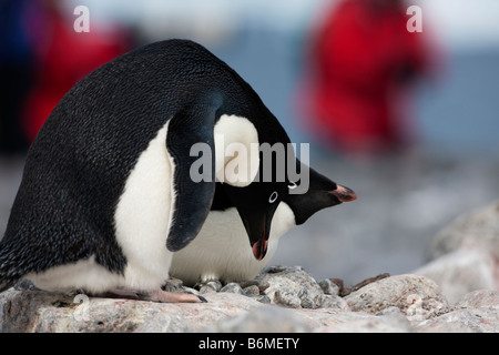 Nesting pair of Adelie Penguins building rock nest close up Paulette Island Antarctica. - Stock Photo