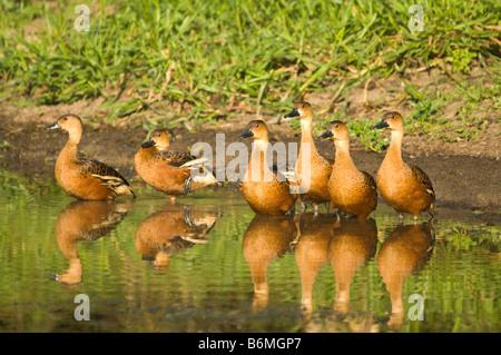 Wandering Whistling duck (Dendrocygna arcuata) flock resting shore South Alligator River Kakadu National Park NT - Stock Photo