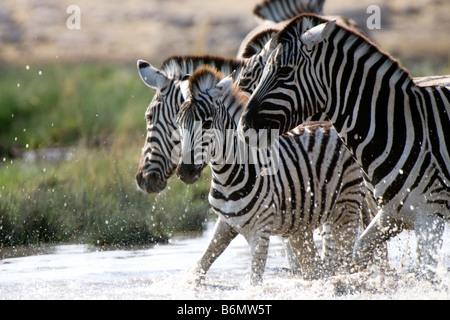 Plains Zebras Enjoying Water at Etosha National Park, Namibia - Stock Photo