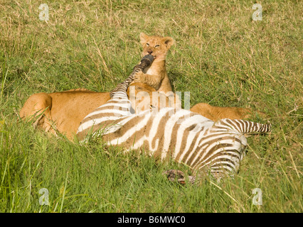 Lioness and her cubs feeding on a Zebra that she had just killed in the Masai Mara in Kenya - Stock Photo