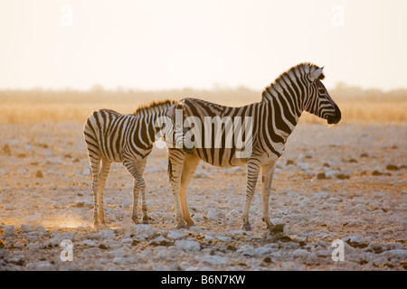 Plains Zebras, Mare and Foal, in Early Morning Golden Dust, Etosha National Park, Namibia - Stock Photo