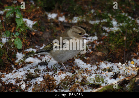 CHAFFINCH Fringilla coelebs FEMALE ON GROUND COLLECTING SEEDS - Stock Photo