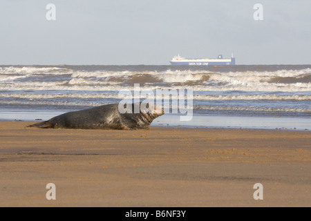 Grey Seal ( Halichoerus grypus ) On The Sea Shore With A Container Ship On the Horizon At Donna Nook, Lincolnshire, - Stock Photo
