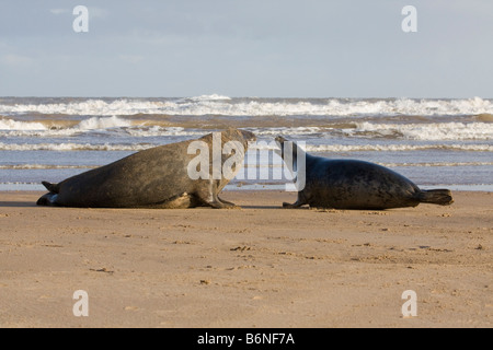 Grey Seal ( Halichoerus grypus ) Male and Female Courting On The Sea Shore At Donna Nook, Lincolnshire, UK - Stock Photo