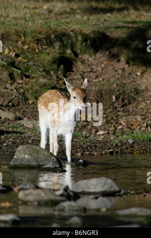 Young Fallow Deer Dama dama crossing stream Bradgate park Leicestershire - Stock Photo