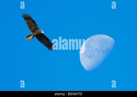 Western Marsh Harrier , Circus aeruginosus and moon - Stock Photo
