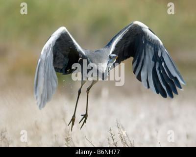Grey heron , Ardea cinerea , taking off - Stock Photo
