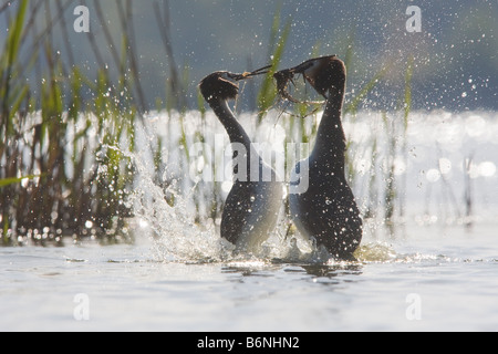 2 adults face to face with an attitude of mating dance, or courtship display - Stock Photo