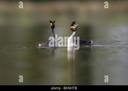 2 adults face to face with an attitude of courtship display - Stock Photo
