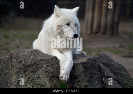 Arctic Wolf (Canis lupus arctos) - also known as Polar Wolf or White Wolf - Stock Photo