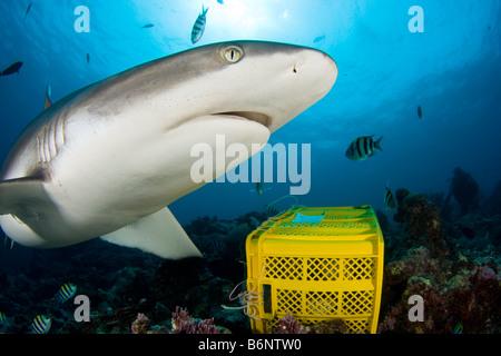 A grey reef shark, Carcharhinus amblyrhynchos, checks out the bait box at an organized feeding in Yap, Micronesia. - Stock Photo
