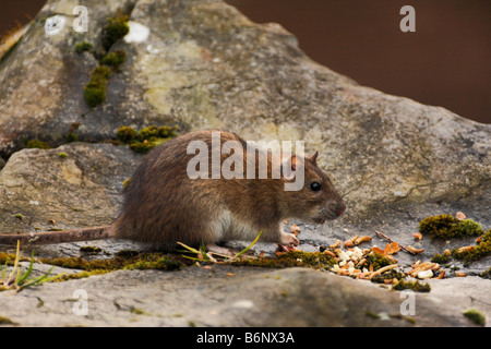 BROWN RAT, Rattus norvegicus - Stock Photo