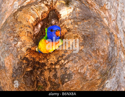 Rainbow lorikeet, Trichoglossus haematodus, looking out from its nest in the hollow of a gum tree - Stock Photo