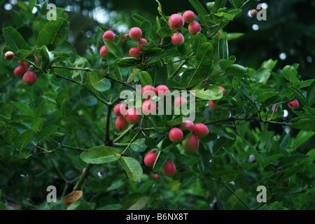 Cherry tree with fruits [RF] - Stock Photo