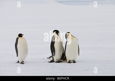 Cute emperor penguin walking toward 2 sleeping penguins on fast ice white snow background and foreground Weddell - Stock Photo