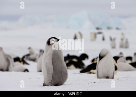 Adorable cute Emperor Penguin chick baby penguin Downy soft looking standing on ice and snow in the Snow Hill rookery - Stock Photo
