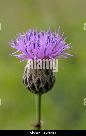 Dyers Plumeless Saw Wort, Saw Wort (Serratula tinctoria), flower - Stock Photo