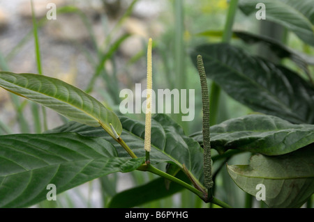 Long Pepper (Piper longum), twig with flower spikes - Stock Photo