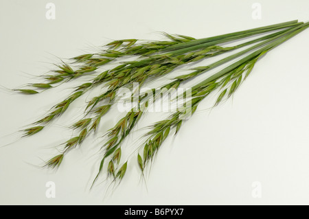 Common Wild Oat (Avena fatua), stems with panicles, studio picture - Stock Photo
