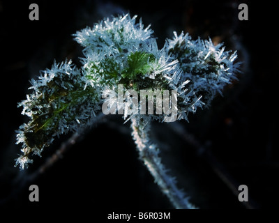 Prickly frost. Frosted nettle on black background. - Stock Photo