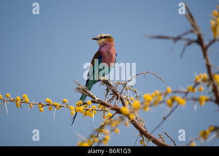 Lilac-breasted Roller Perched on Blooming Acacia, Etosha National Park, Namibia - Stock Photo