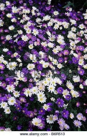 Greek thimbleweed wood anemone blanda spring flower for Perennial wood