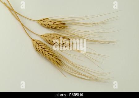 Timopheevs Wheat Triticum timopheevii ears