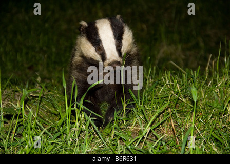 European Badger (Meles meles) On a nature Reserve in the Herefordshire countryside - Stock Photo