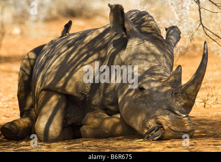 wild White Rhinoceros rhino CERATOTHERIUM simum and OXPECKER in nosehole acacia woodland south africa south-africa - Stock Photo