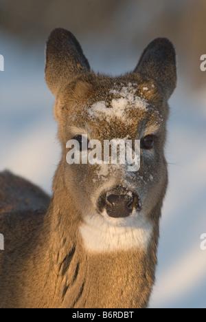 White-tailed deer (Odocoileus virginianus). Portrait of female with snow on head - Stock Photo