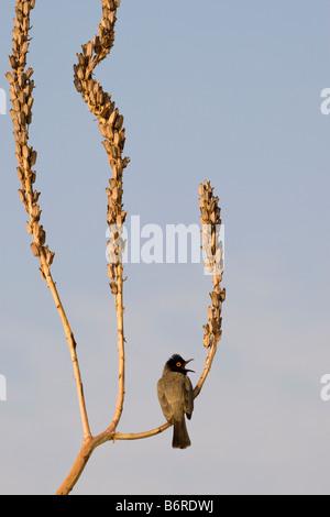 African Red-eyed Bubul Singing on Dessicated Reed, Vingerklip, Namibia - Stock Photo