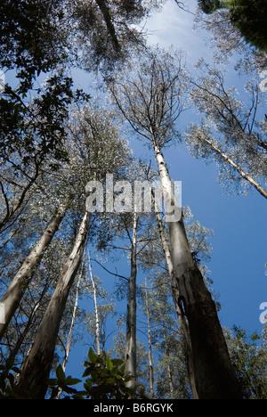 Mountain ash eucalypts in Sherbrooke Forest, Melbourne, Australia - Stock Photo