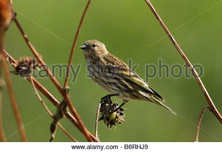Pine Siskin Carduelis pinus perched dry weeds - Stock Photo