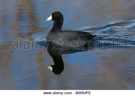 American Coot Fulica americana swimming reflection - Stock Photo