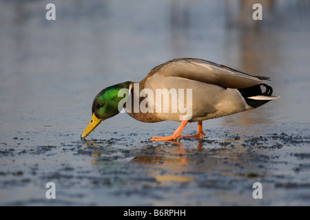 A Male Mallard Anas platyrhynchos standing on ice pecks at the surface, Welney WWT Norfolk, England, UK - Stock Photo
