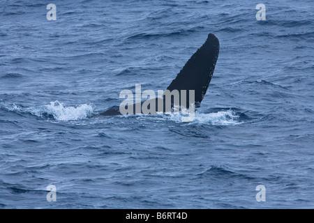 Long finned pilot whale tailfin tail fin Globicephala melas Drake Passage Southern Ocean Antarctica - Stock Photo