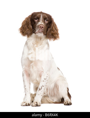 English Springer Spaniel 10 months in front of a white background - Stock Photo
